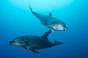 Bottlenose Dolphin Diving