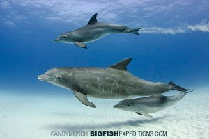 Spotted and bottlenose dolphins near tiger beach