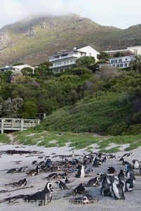 Boulders Beach, South Africa. African Penguins.