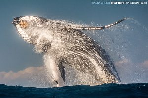 Photographing whale breaches