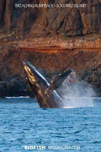 breaching humpback whale isla socorro