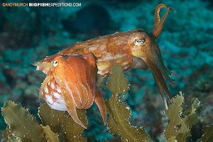 Broadclub Cuttlefish diving Malapascua