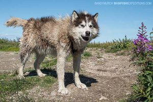 Canadian Eskimo Dog Churchill