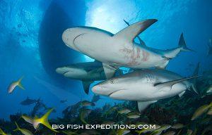 Caribbean reef sharks diving at Tiger Beach