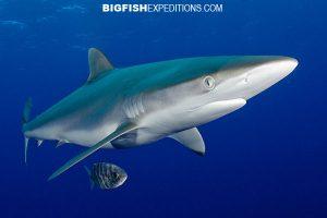 Silky shark diving cat island bahamas