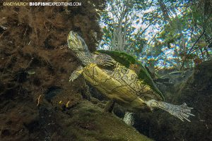 Freshwater turtle in Carwash Cenote