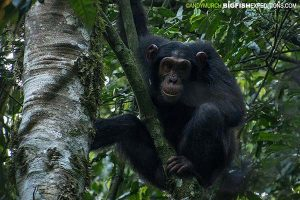 Trekking all day with Chimpanzees in Kibale National Park