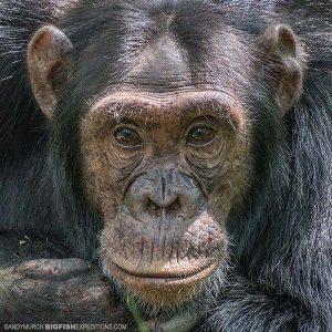 Chimpanzee Trekking in Kibale Uganda