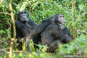 Chimpanzee trekking in Kibale National Park, Uganda