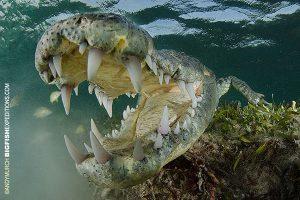 Open wide crocodile