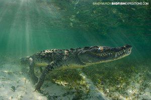 Chinchorro Crocodiles
