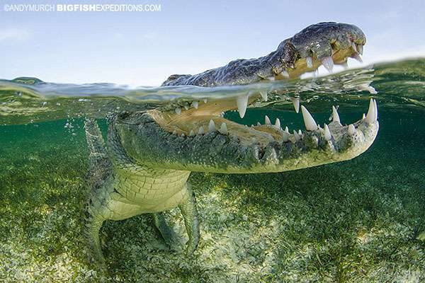 Crocodile Snorkeling
