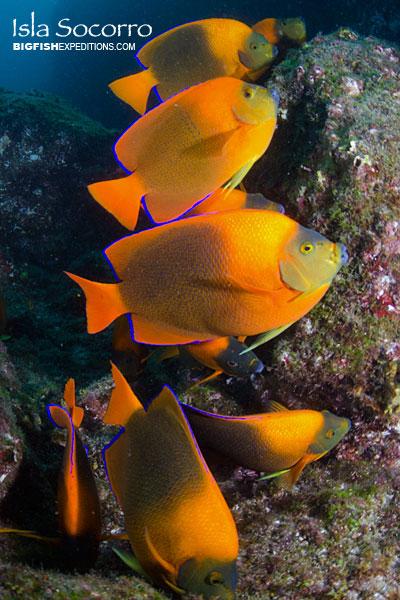 Clarion angelfish isla socorro diving