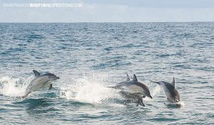 Common Dolphins in the Outer Hebrides