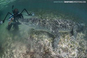 Swimming with American Crocodiles in Mexico