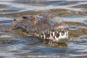 American crocodile at the surface