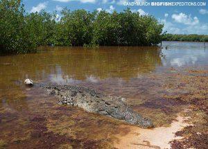 American crocodile in Chinchorro Lagoon