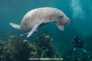 Diving with manatees in Mexico