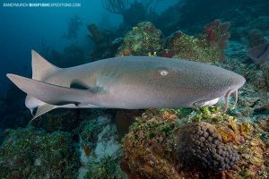 Diving with nurse sharks and crocodiles