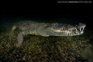 Swimming with crocodiles at night