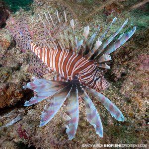 Lionfish diving