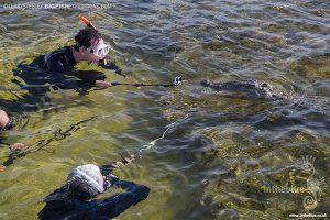 Diving with crocodiles at Banco Chinchorro