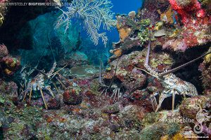 Lobsters diving at chinchorro atoll