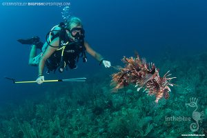 Hunting for lionfish while diving with crocodiles at Banco Chinchorro