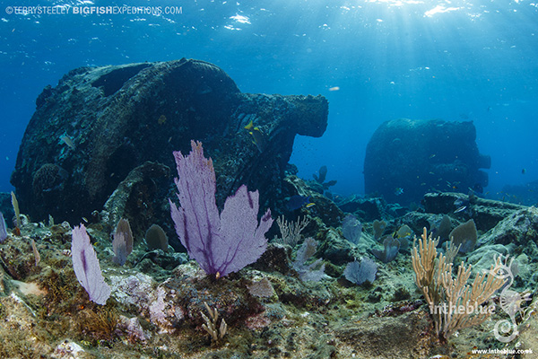 Ginger scout wreck diving with crocodiles at Banco Chinchorro