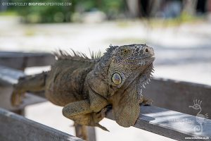 An iguana on Cayo Grande while diving with crocodiles at Banco Chinchorro