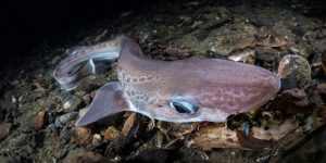 Deep Sharks in Norway