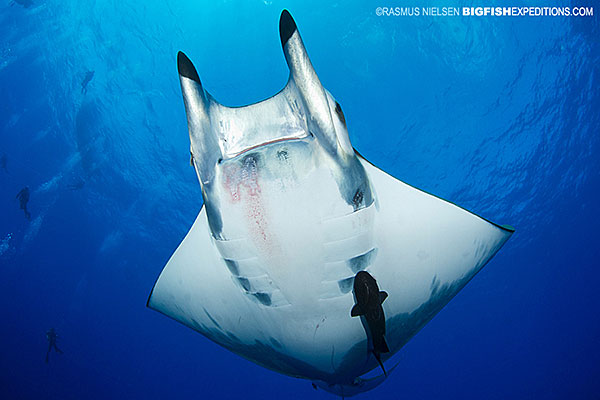 Devil Ray Princess Alice Diving