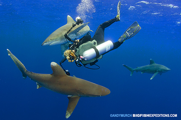diving with oceanic whitetip sharks off Cat Island, Bahamas
