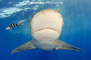 cat island diving with oceanic whitetip sharks