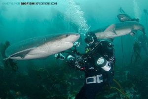 Diving with Sevengills