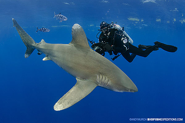 diver in black with a large oceanic whitetip shark
