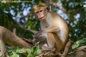 Toque Macaque Sri Lanka Safari