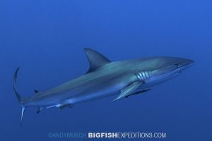 Dusky Shark Diving Cat ISland