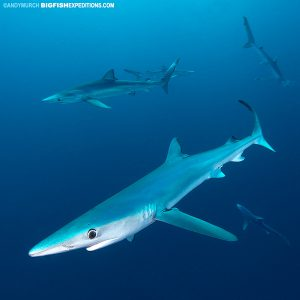 Blue shark diving in South Africa