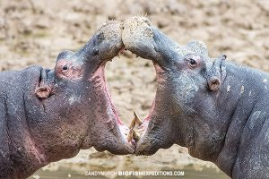 Fighting hippos at Aquila Game Reserve in South Africa