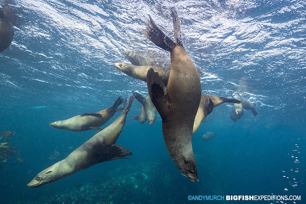 Cape Fur Seals at Partridge Point, False Bay, South Africa