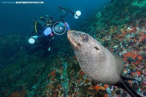 Diver with a cape fur seal in False Bay, South Africa