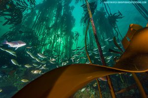Beautiful kelp forest in South Africa