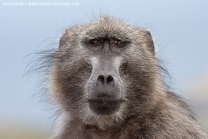 Cape Baboon at Cape Point, South Africa