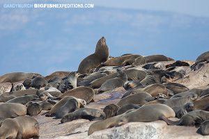 70,000 cape fur seals on Seal Island, False Bay, South Africa