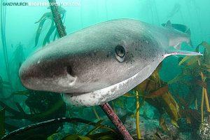 Sevengill shark, False Bay, South Africa