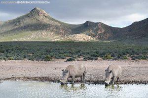 White Rhinos. Aquila Wildlife Reserve, South Africa