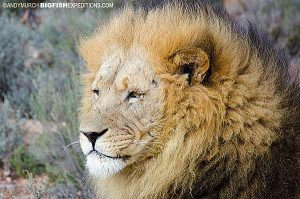 Adult male lion, Cape Town
