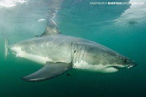Great white shark, False Bay, South Africa.