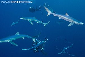 Diving with blue sharks near Cape Town